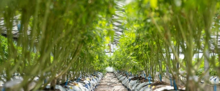 The Important Differences Between Cannabinoids